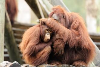 Orang-Utan-Mutter mit ihrem Kind